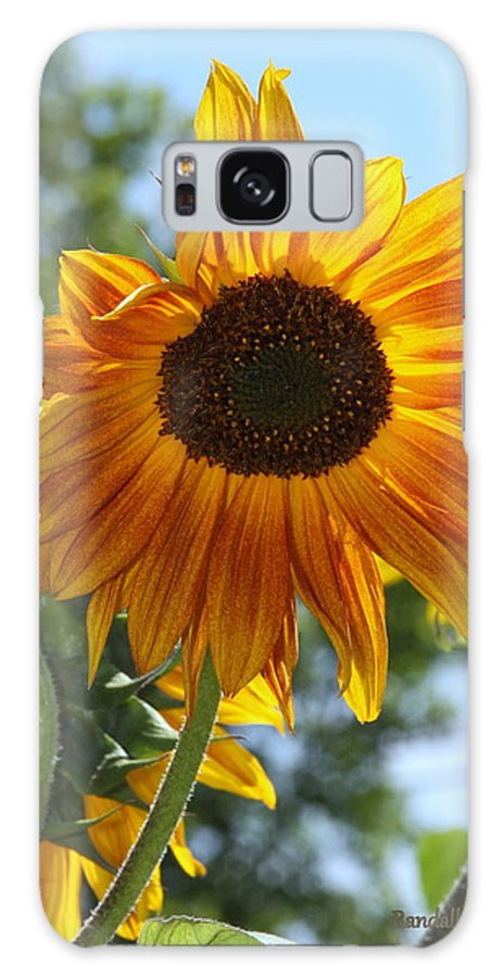 Sunflower Galaxy S8 Case featuring the photograph Glory Glory Sunflower by Randall Thomas Stone