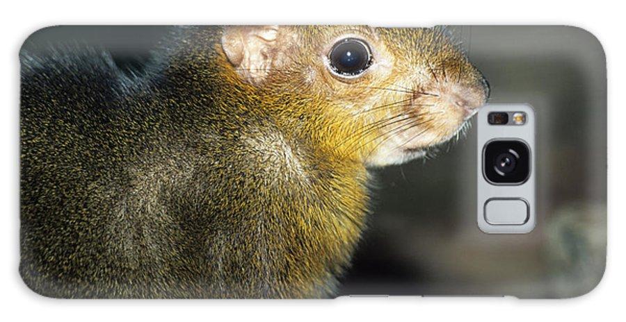 Myoprocta Acouchi Galaxy S8 Case featuring the photograph Green Acouchi by David Aubrey