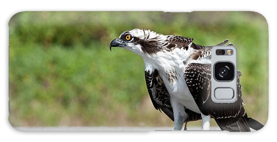 Osprey Galaxy S8 Case featuring the photograph Guarding Lunch by Rodney Cammauf