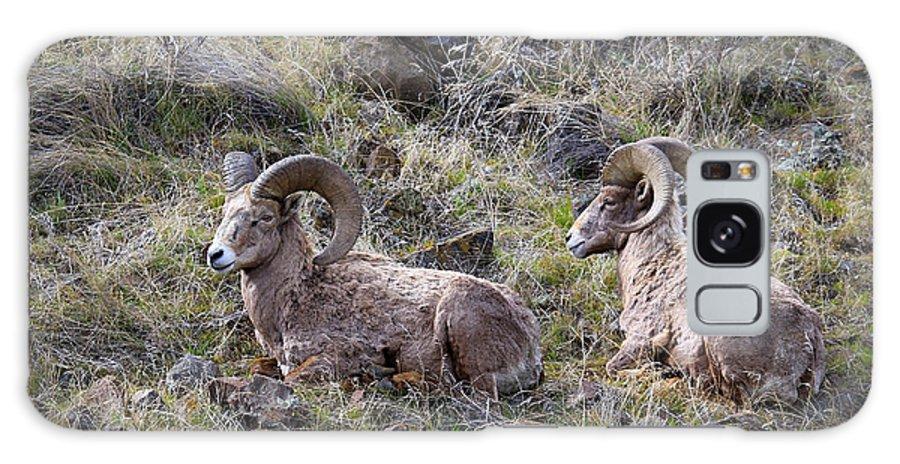 Bighorn Sheep Galaxy S8 Case featuring the photograph Hillside Rams by Steve McKinzie