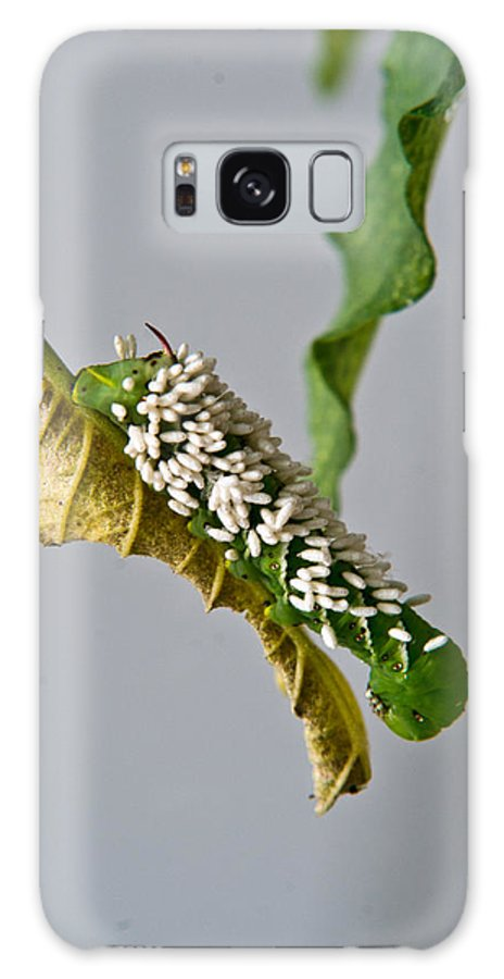 Hornworm Galaxy S8 Case featuring the photograph Hornworm With Braconid Wasp Parasites 2 by Douglas Barnett