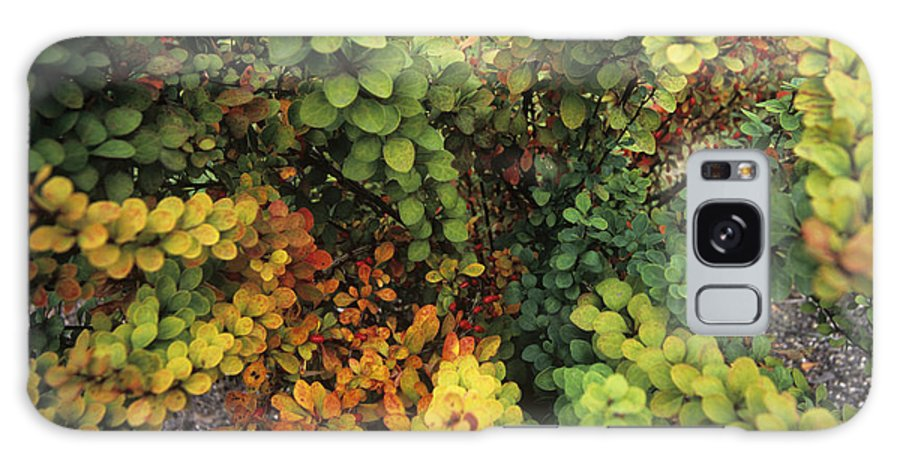Japanese Barberry Galaxy S8 Case featuring the photograph Japanese Barberry (berberis 'erecta') by Adrian Thomas