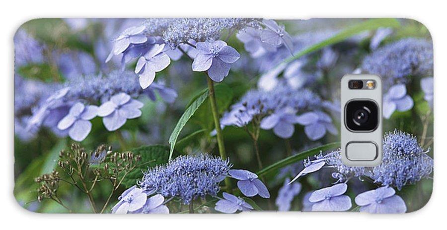 North America Galaxy S8 Case featuring the photograph Lace Cap Hydrangeas In Bloom by Darlyne A. Murawski
