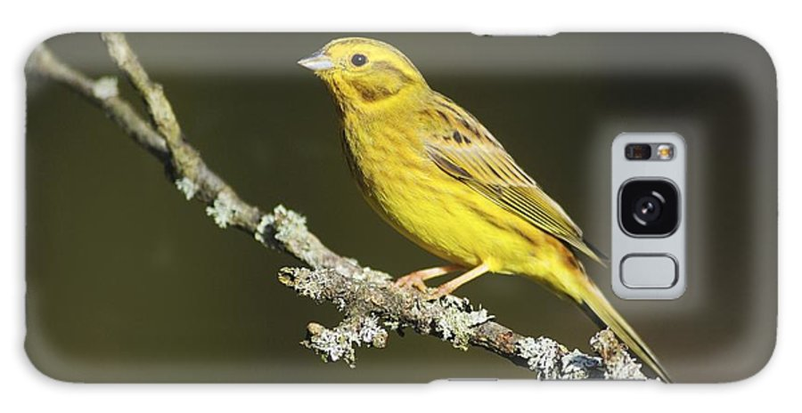 Yellowhammer Galaxy S8 Case featuring the photograph Male Yellowhammer by Colin Varndell