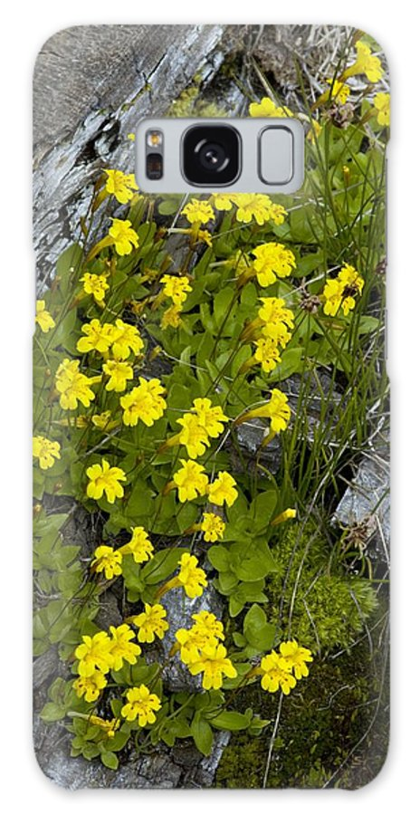 Primrose Monkey-flower Galaxy S8 Case featuring the photograph Monkey-flower (mimulus Primuloides) by Bob Gibbons