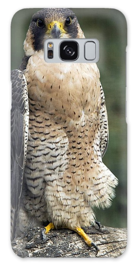 Peregrine Falcon Galaxy S8 Case featuring the photograph Peregrine Falcon by Bob Gibbons