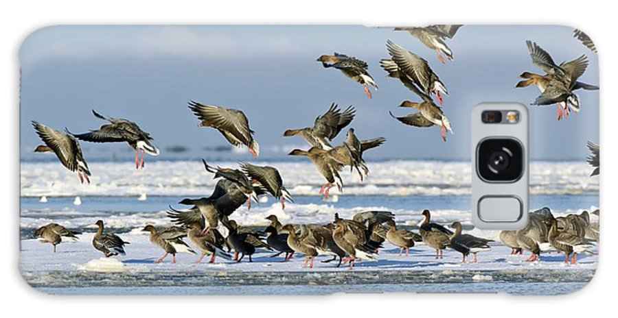 Pink-footed Goose Galaxy S8 Case featuring the photograph Pink-footed Geese On An Ice Floe by Duncan Shaw
