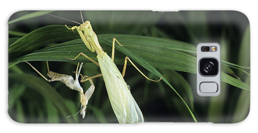 Praying Mantis Galaxy S8 Case featuring the photograph Praying Mantis With Its Shed Skin by David Aubrey
