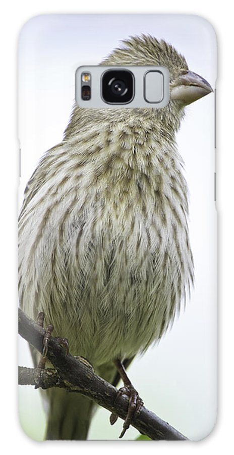 House Finch Galaxy S8 Case featuring the photograph Puffed Up A Little by Steven Llorca