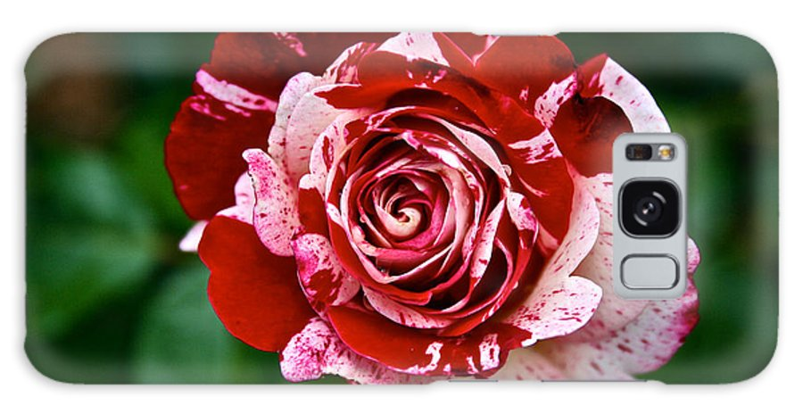 Garden Galaxy S8 Case featuring the photograph Red And White Rose by Susan Herber