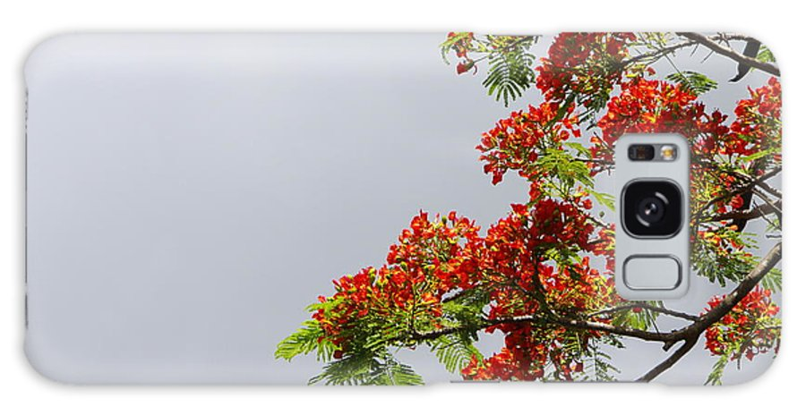 Royal Poinciana Tree Galaxy S8 Case featuring the photograph Royal Poinciana Tree by Marilyn Wilson