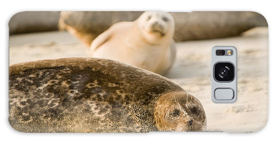 La Jolla Galaxy S8 Case featuring the photograph Seal 3 by Daniel Knighton
