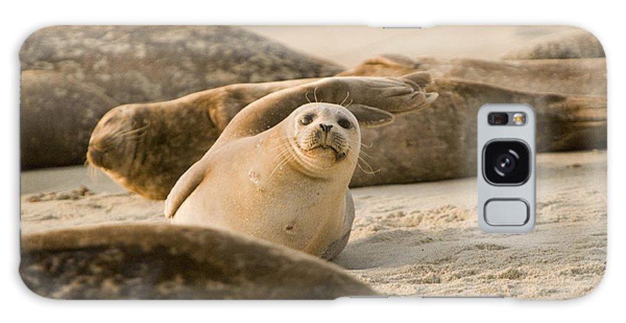 La Jolla Galaxy S8 Case featuring the photograph Seal 4 by Daniel Knighton