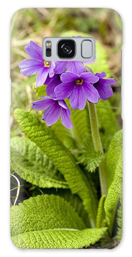 Shining Primula Galaxy S8 Case featuring the photograph Shining Primula (primula Amoena) by Bob Gibbons