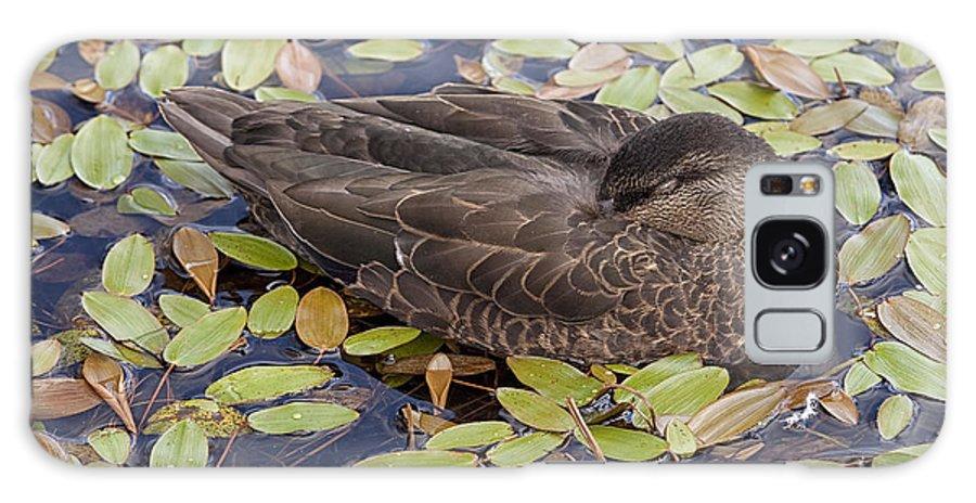 Duck Sleeping Fowl Waterfowl grand Falls-windsor Newfoundland black Duck Galaxy S8 Case featuring the photograph Sleeping Duck by Eunice Gibb