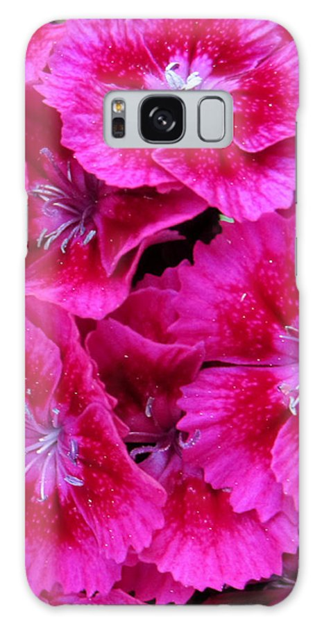 Beauty Close Up Color Image Concept Environment Flower Growth Vertical Illustration Illustration And Painting Leaf Nature Nobody Red Spring Tropical Two Objects Blooming Close-up Color Colour Development Drawing Natural Plant Springtime Tropics Flower Iris Decorative Art Photo Sweet William Galaxy S8 Case featuring the photograph Sweet William by Leon Zernitsky