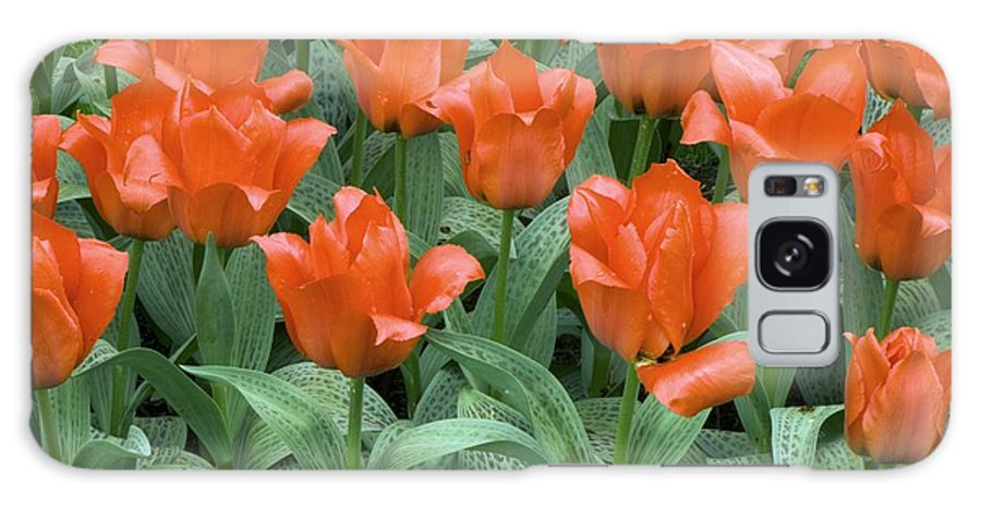 Tulips Galaxy S8 Case featuring the photograph Tulips (tulipa Greigii 'grower's Pride') by Adrian Thomas