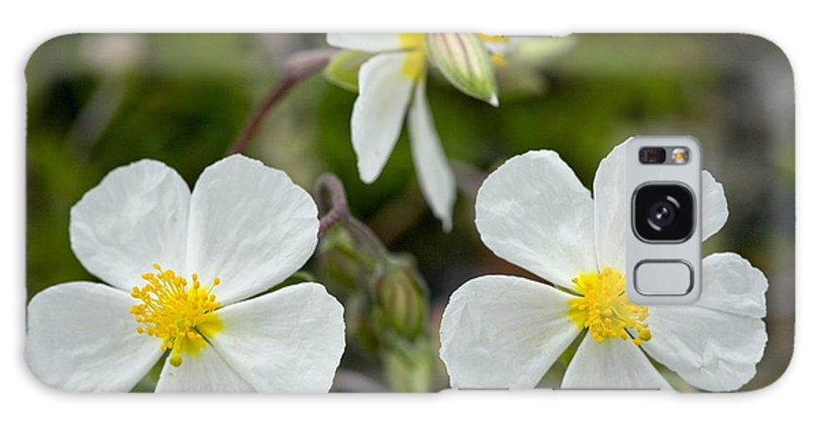 Helianthemum Apenninum Galaxy S8 Case featuring the photograph White Rock-rose (helianthemum Apenninum) by Bob Gibbons