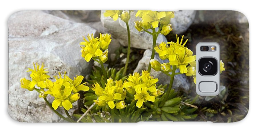 Yellow Whitlow-grass Galaxy S8 Case featuring the photograph Yellow Whitlow-grass (draba Aizoides) by Bob Gibbons