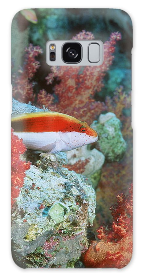 Paracirrhites Forsteri Galaxy S8 Case featuring the photograph Young Forster's Hawkfish by Georgette Douwma