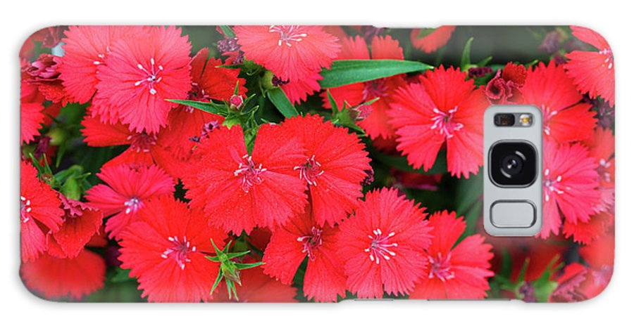 Abundance Galaxy S8 Case featuring the photograph Dianthus by Diane Macdonald