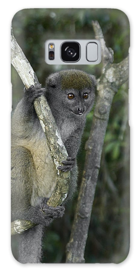 Madagascar Galaxy S8 Case featuring the photograph Gray Bamboo Lemur by Michele Burgess