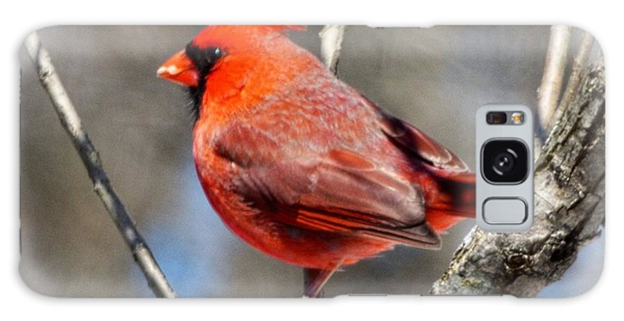 Cardinal Galaxy Case featuring the photograph Mr. Cardinal by Rennae Christman
