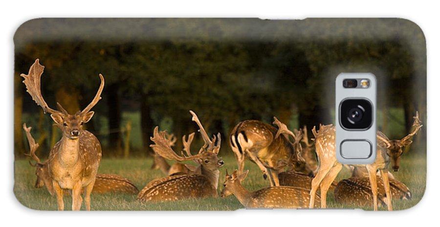 Fallow Deer Galaxy S8 Case featuring the photograph Fallow Deer by Angel Ciesniarska