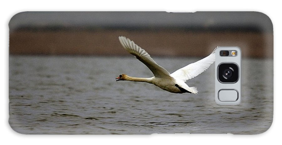 Swan In Flight Galaxy S8 Case featuring the photograph Swan During Take Off by Cliff Norton