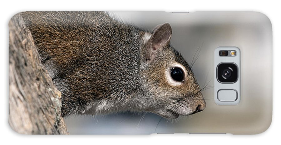 Squirrel Galaxy S8 Case featuring the photograph Eastern Gray Squirrel by Allan Hughes