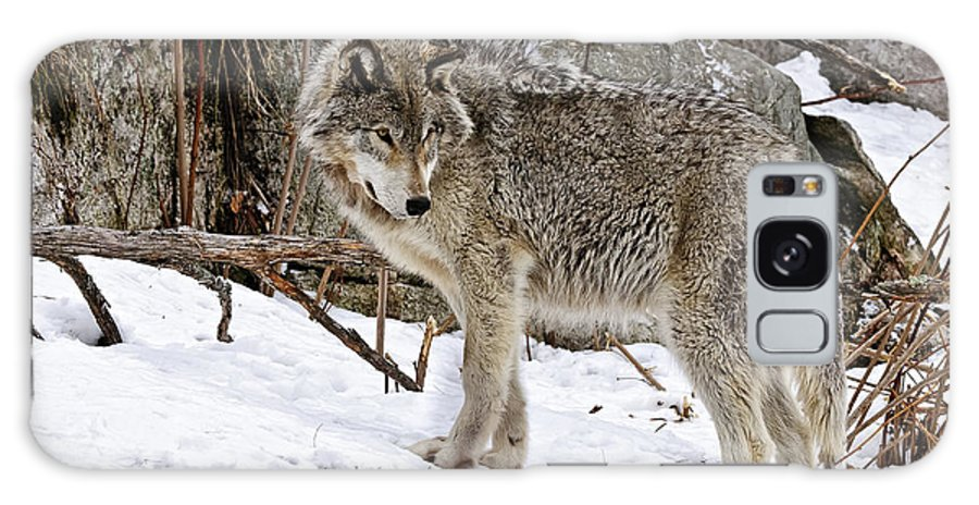Michael Cummings Galaxy S8 Case featuring the photograph Timber Wolf In Winter by Michael Cummings