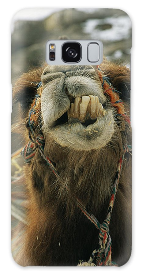 Portraits Galaxy S8 Case featuring the photograph A Camel Displays Its Teeth by Tim Laman
