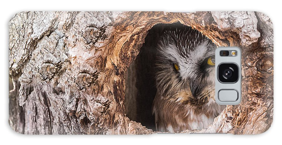 Adult Saw-whet Owl Galaxy S8 Case featuring the photograph Adult Saw-whet Owl by Yeates Photography