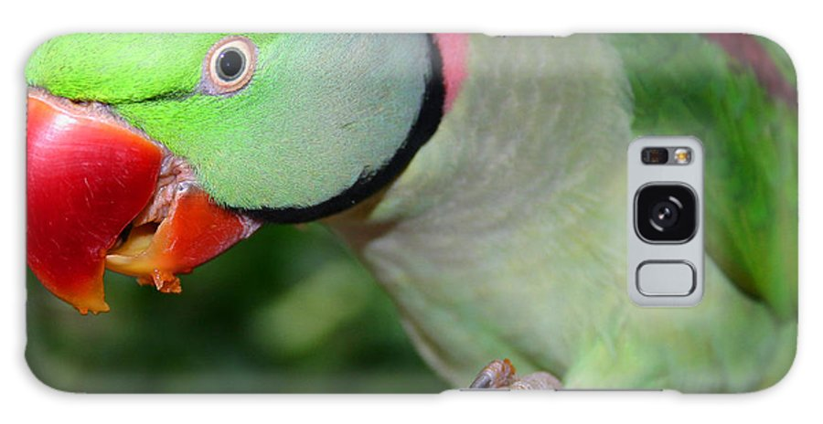 Alexandrine Parrot Galaxy S8 Case featuring the photograph Alexandrine Parrot Feeding by Ralph A Ledergerber-Photography