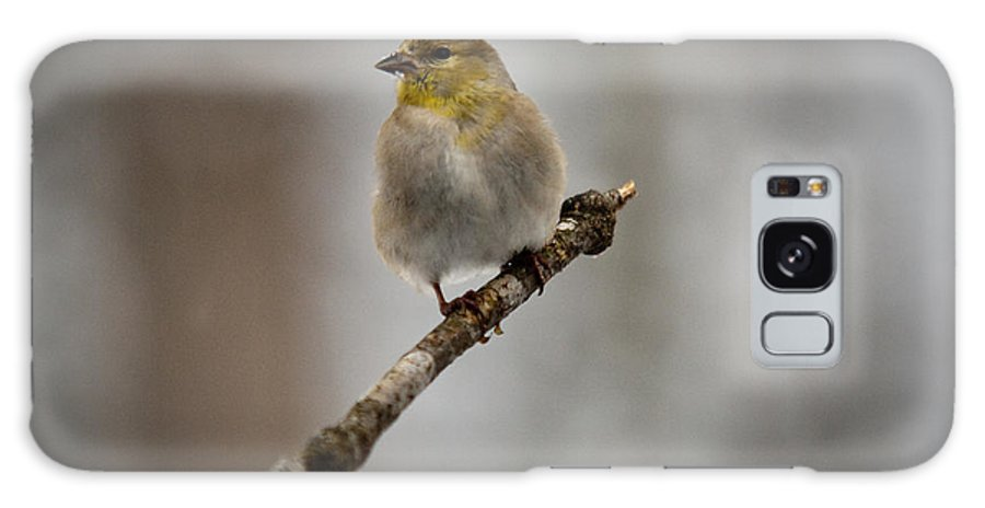 American Galaxy S8 Case featuring the photograph American Golden Finch Winter Plumage by Douglas Barnett