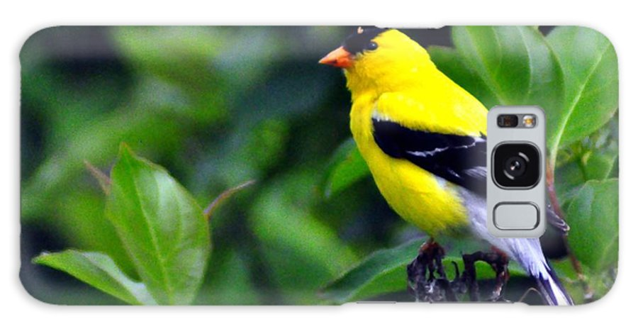 American Goldfinch Galaxy S8 Case featuring the photograph American Goldfinch by Darin Bokeno