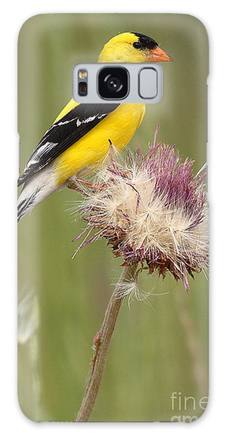 Goldfinch Galaxy S8 Case featuring the photograph American Goldfinch On Summer Thistle by Max Allen