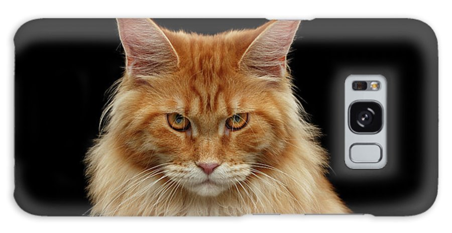 Angry Galaxy S8 Case featuring the photograph Angry Ginger Maine Coon Cat Gazing On Black Background by Sergey Taran