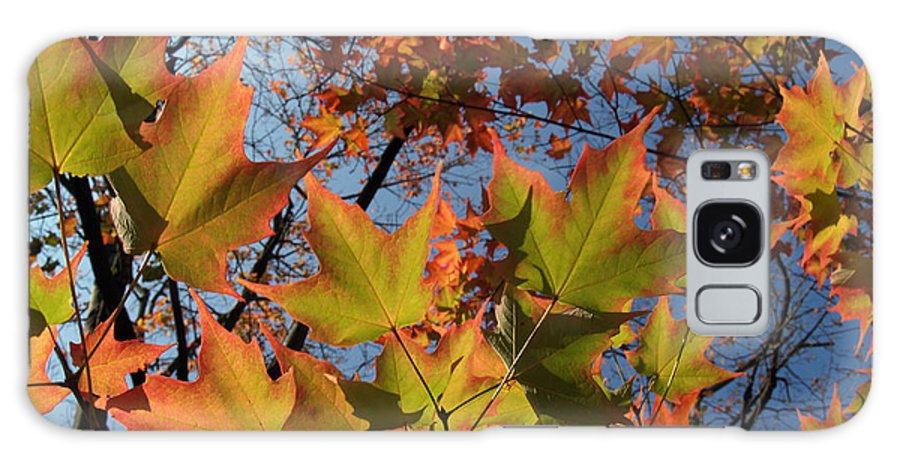 Leaf Galaxy Case featuring the photograph Back-lit Sugar Maple Leaves From Below by Anna Lisa Yoder