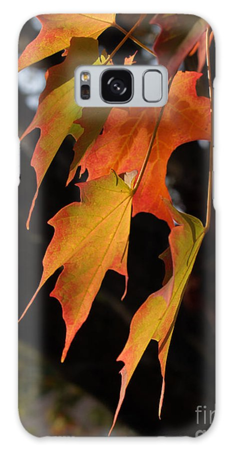 Leaf Galaxy Case featuring the photograph Backlit Sugar Maple Leaves With Trunk by Anna Lisa Yoder