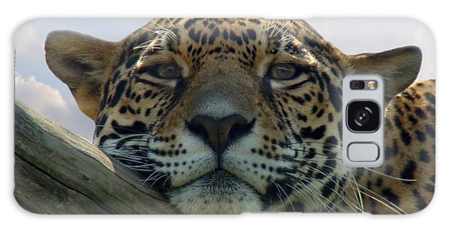 Jaguar Galaxy S8 Case featuring the photograph Beautiful Jaguar by Sandy Keeton