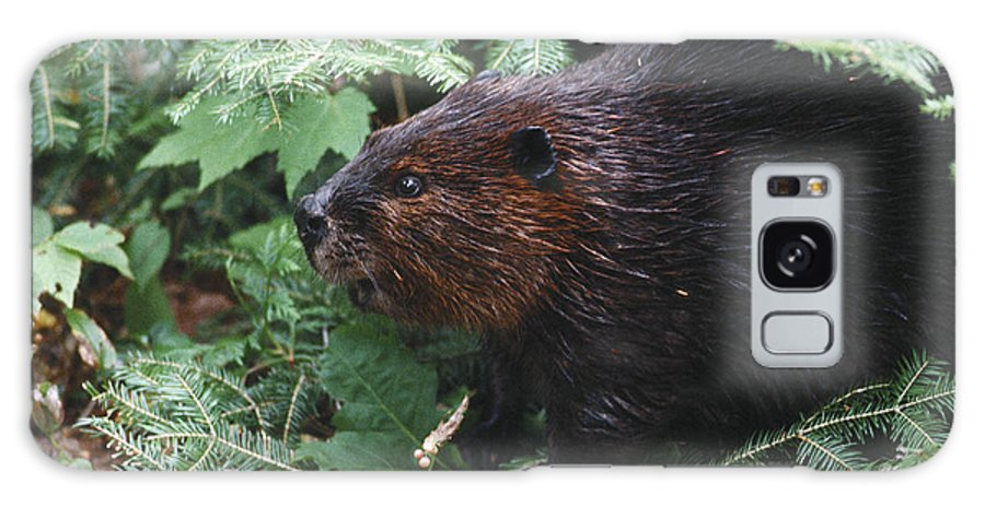 Beaver Galaxy Case featuring the photograph Beaver In Forest by Steve Somerville
