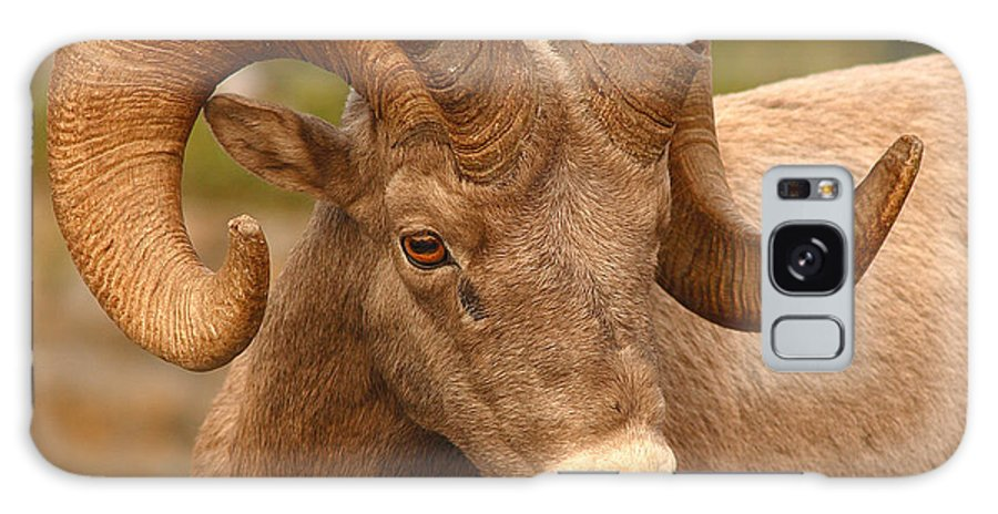 Bighorn Galaxy S8 Case featuring the photograph Bighorn Ram With Evident Disdain by Max Allen