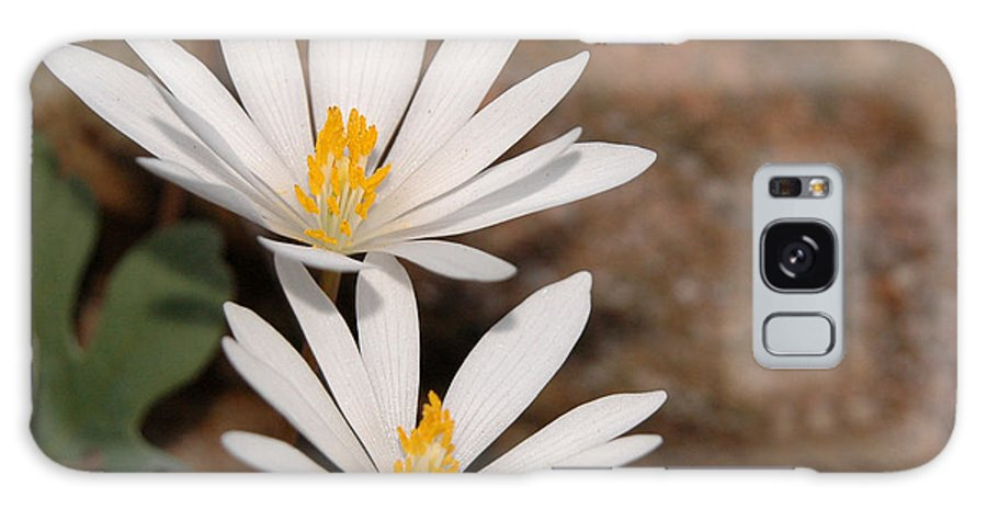 Bloodroot Galaxy S8 Case featuring the photograph Bloodroot Flowers by Lara Ellis
