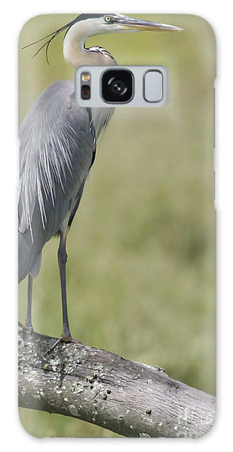 Blueheron Galaxy S8 Case featuring the photograph Blue Heron Portrait August 2010 by Deborah Benoit