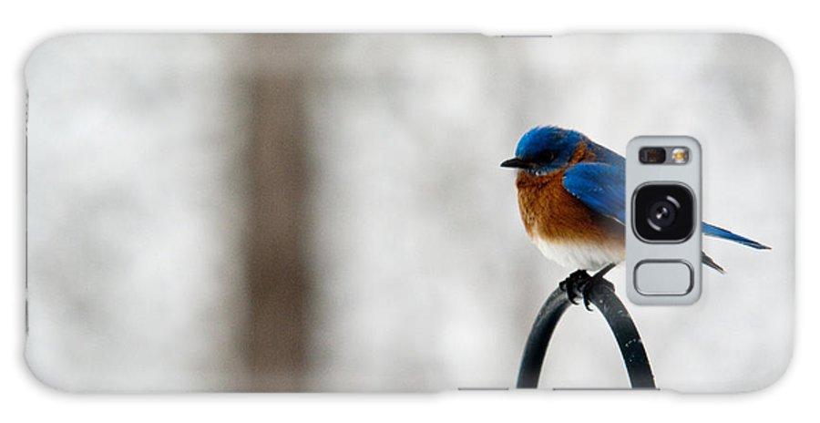 Bluebird Galaxy S8 Case featuring the photograph Bluebird Fluffed by Douglas Barnett