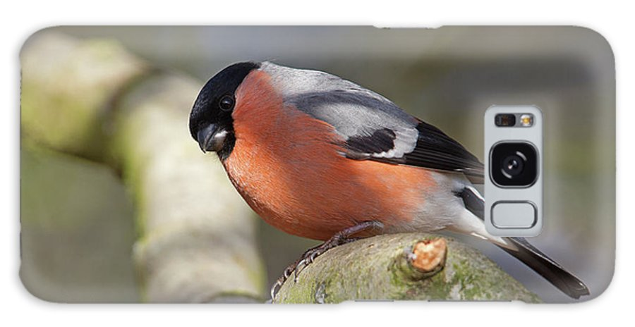 Birds Galaxy S8 Case featuring the photograph Bullfinch by Bob Kemp