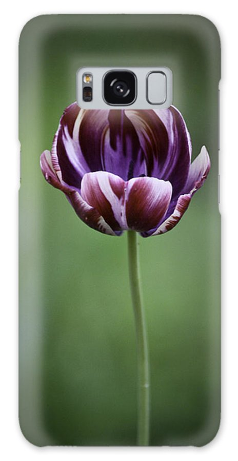 Tulip Galaxy S8 Case featuring the photograph Burgandy Striped Tulip 3 by Teresa Mucha