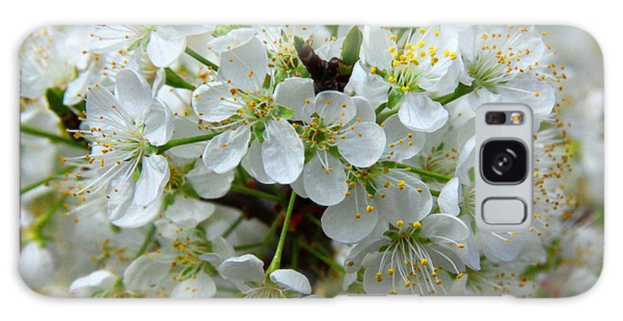 Chickasaw Plum Galaxy S8 Case featuring the photograph Chickasaw Plum Blooms by Barbara Bowen