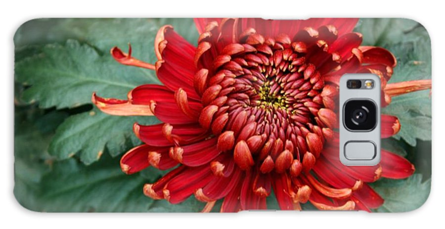 Plants Galaxy S8 Case featuring the photograph Christmas Chrysanthemum by Angie Schutt